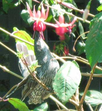 fuchsia and bird