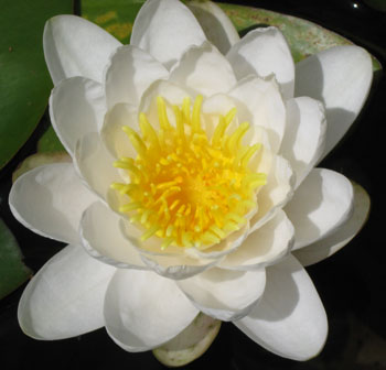 Japanese garden water lily