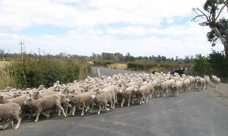 Longford - sheep crossing
