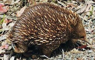 Tasmania - echidna