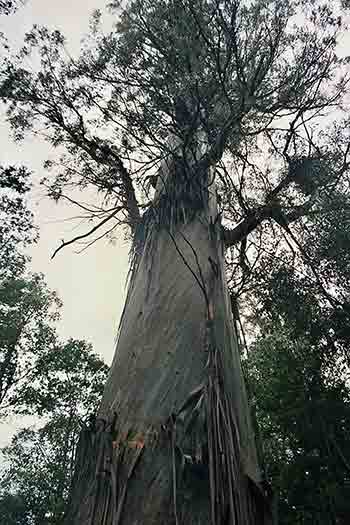 Big Tree near Tahune Airwalk