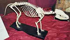 Tasmanian tiger skeleton